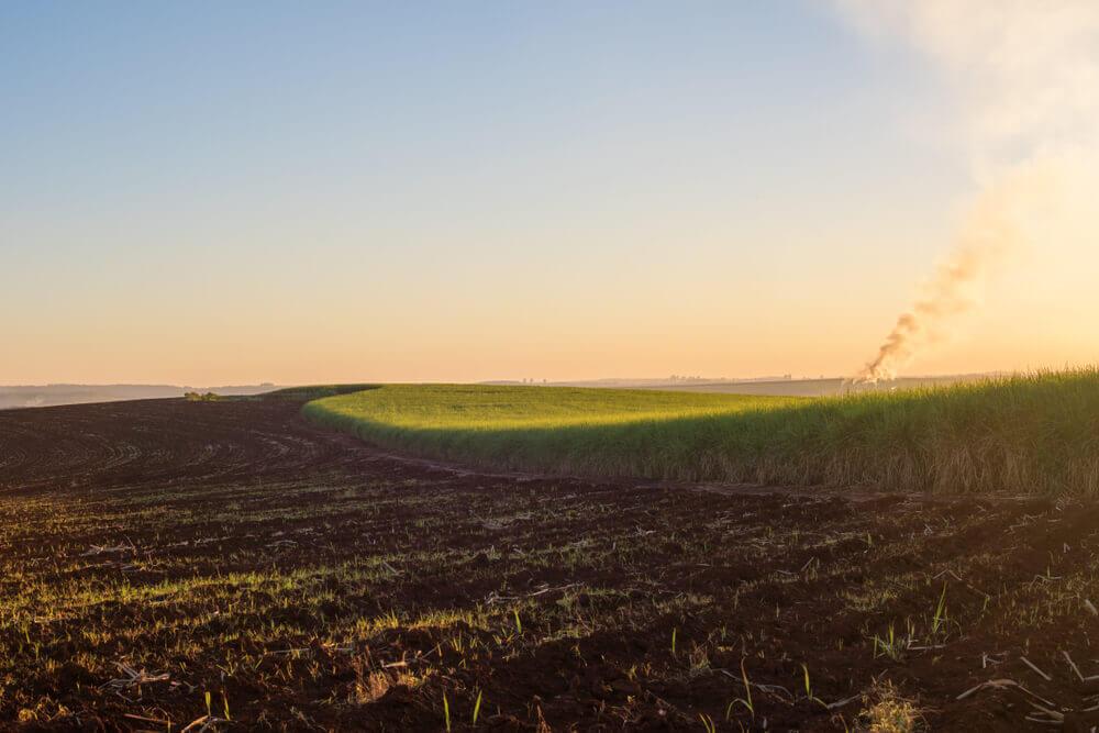Sugar cane plantation in sunrise or sunset time.