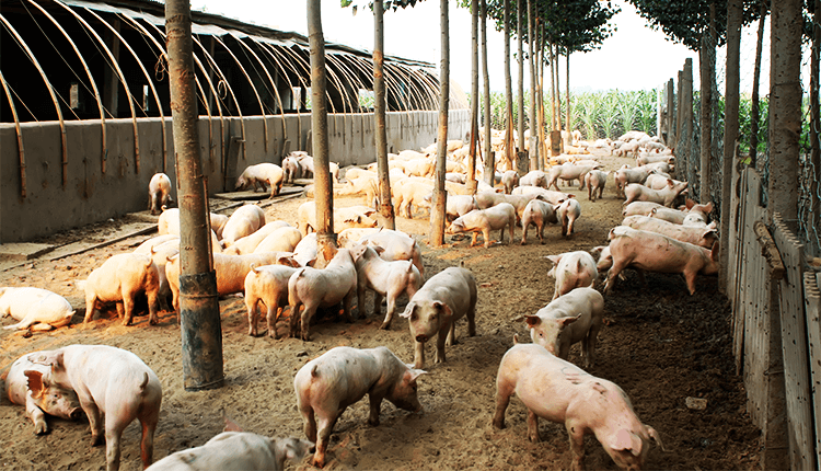Pig Farmers in China Fatter Pigs to Boost Soymeal Demand - Finance Brokerage